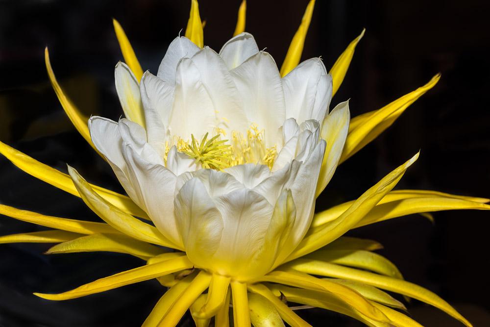 Dragon Fruit Flower  - Flores - Ricardo Simán . Flores