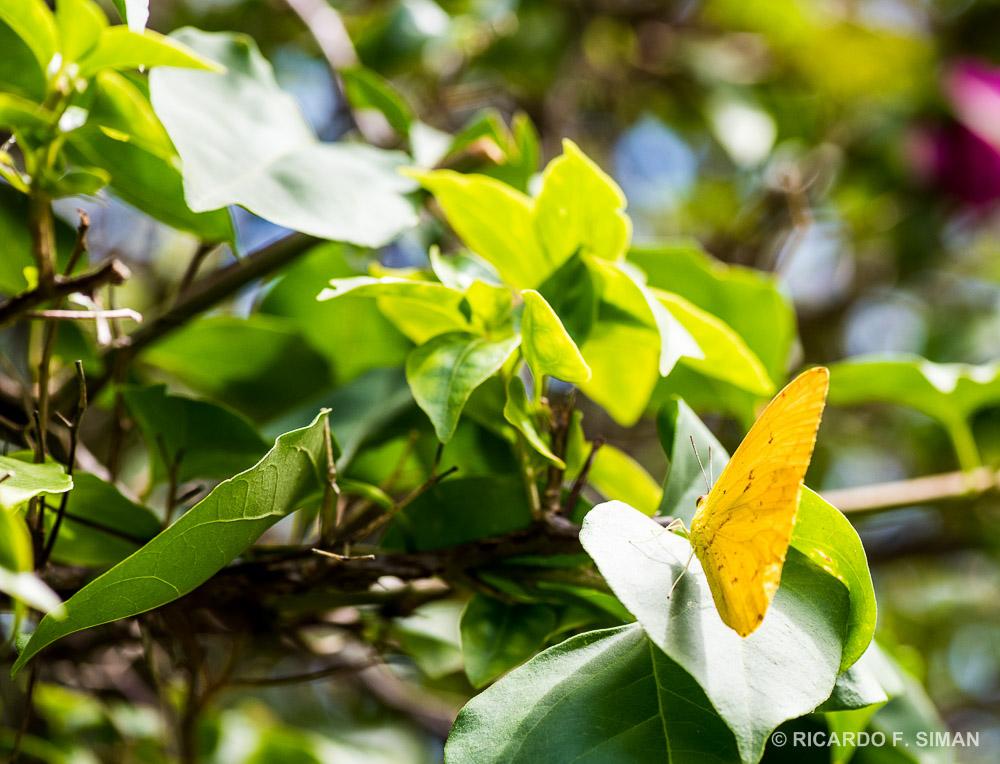 Mariposa Amarilla - Flores - Ricardo Simán . Flores