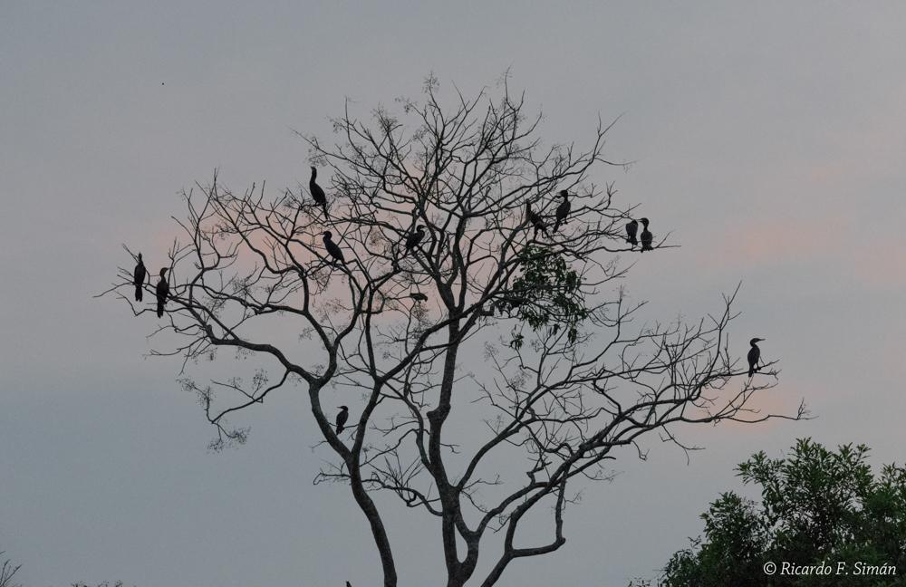 _DSC5670 Biguatinga o Carará - Aves - Ricardo F. Simán, Fotografía