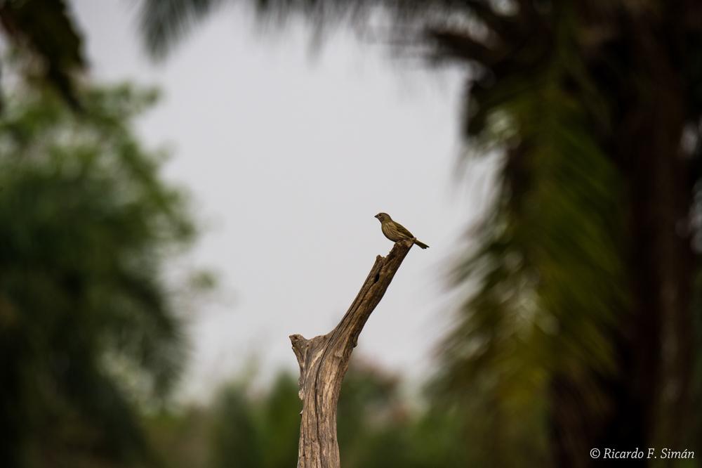 _DSC6494 Ave en El Pantanal - Aves - Ricardo F. Simán, Fotografía