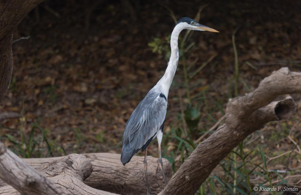 _DSC6716 Cocoi Heron Ardea cocoi Pantanal - Aves - Ricardo F. Simán, Fotografía