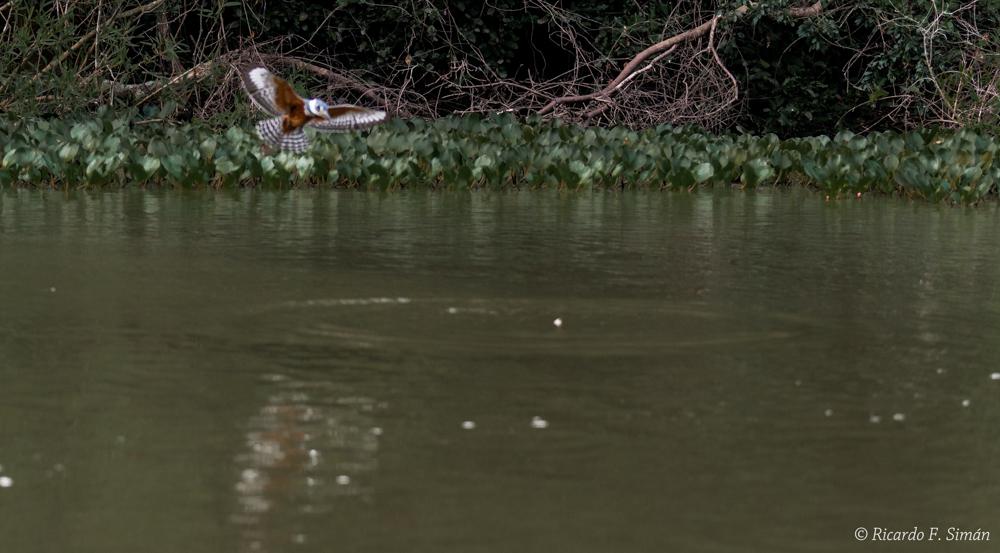 _DSC7123 Martin Pescador Grande - Aves - Ricardo F. Simán, Fotografía