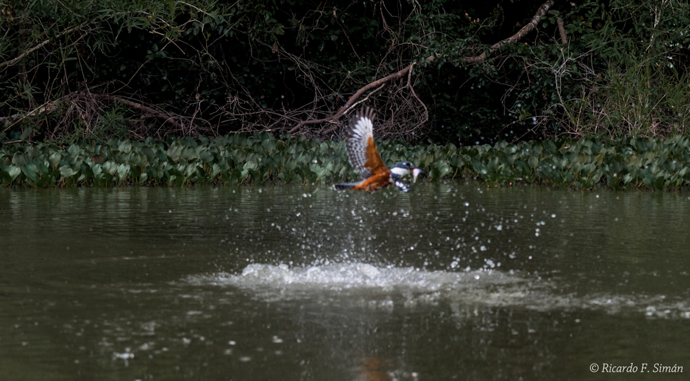 Martin Pescador Grande - Aves - Ricardo F. Simán, Fotografía