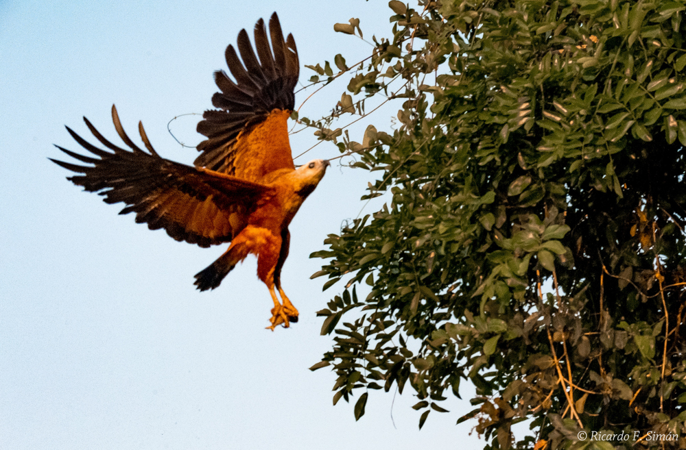 Aguila - Aves - Ricardo F. Simán, Fotografía