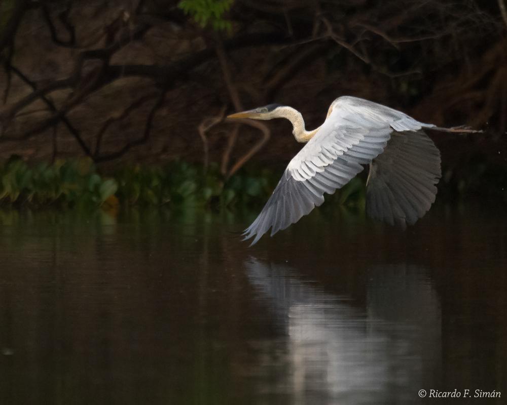 Cocoi Heron Ardea cocoi Pantanal - Aves - Ricardo F. Simán, Fotografía