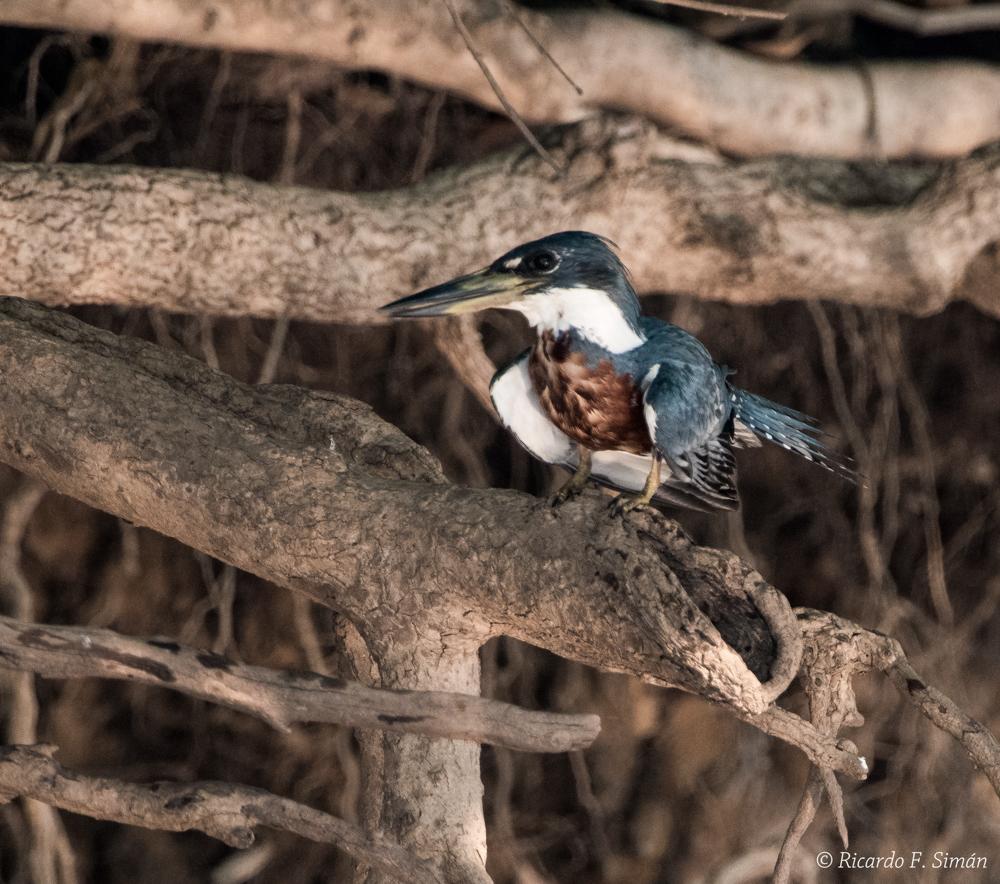Paradise Jacamar - Aves - Ricardo F. Simán, Fotografía