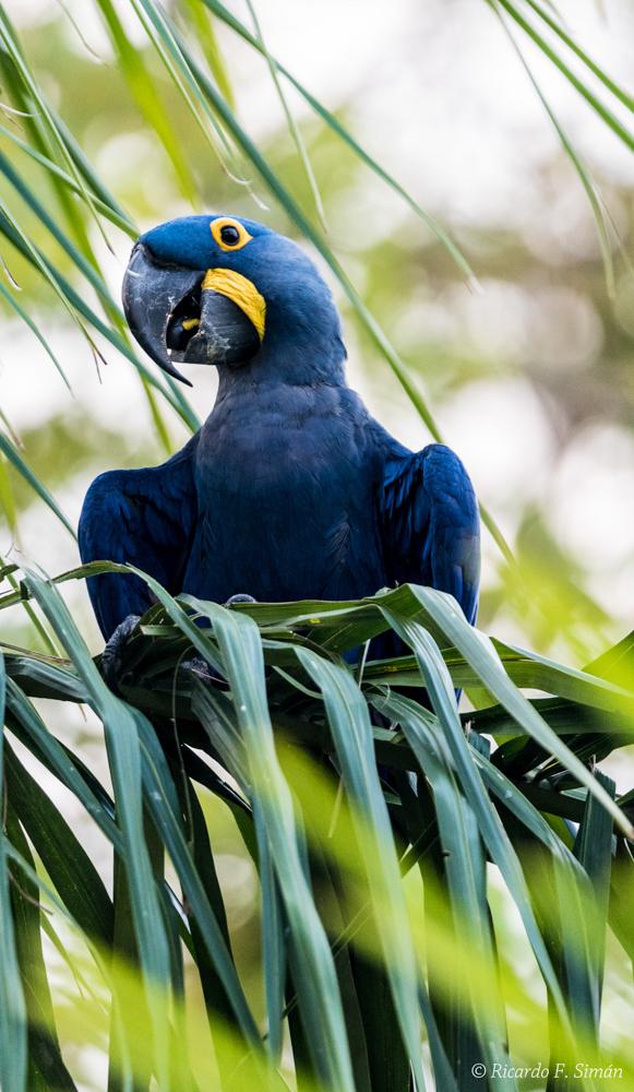 Papagayo Azul Amarillo - Aves - Ricardo F. Simán, Fotografía