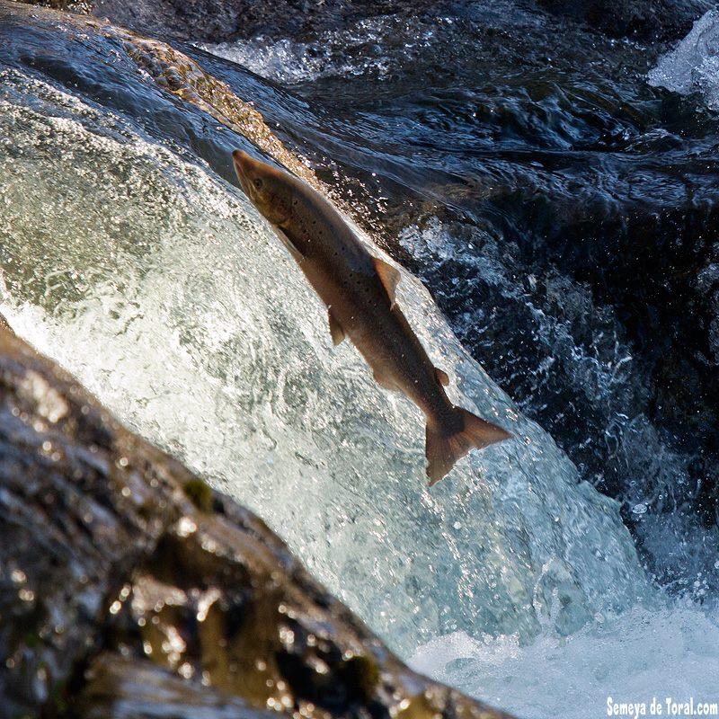 Remonte de salmón. - FAUNA - Semeya  de Toral