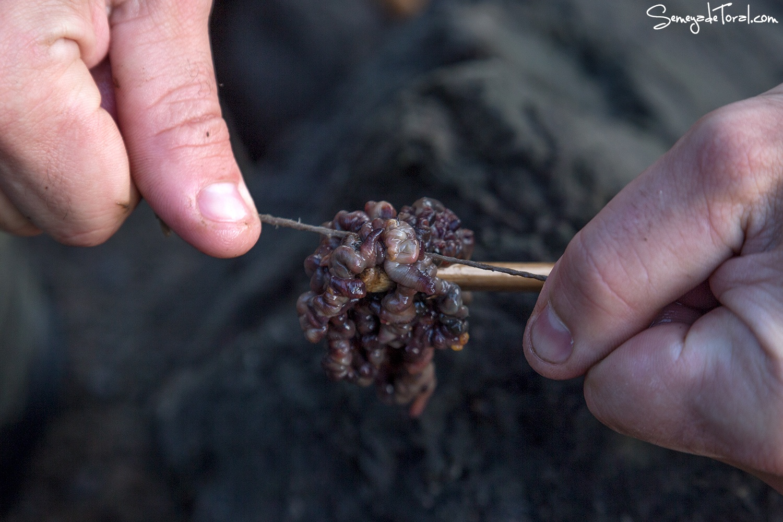Merucada atada a la punta de la vara  - Pesca tradicional de Barbaes - Semeya  de Toral