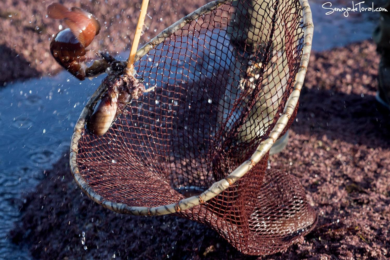 Incluso de dos en dos. - Pesca tradicional de Barbaes - Semeya  de Toral