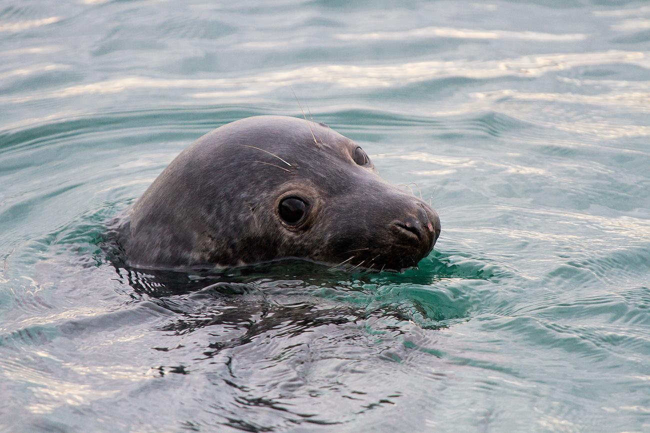 Noega, la foca. - FAUNA - Semeya  de Toral