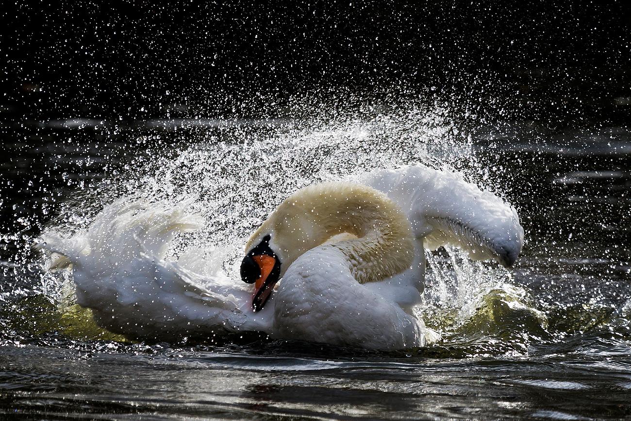 Cisne contorsionista. - FAUNA - Semeya  de Toral