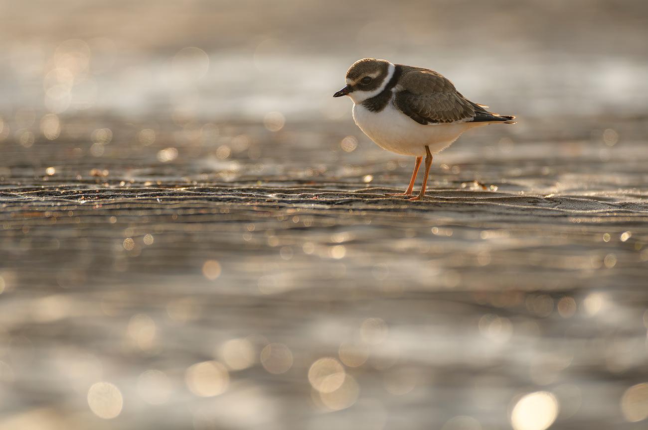 Beach - Birds & Habitats, Jose Manuel Grandío