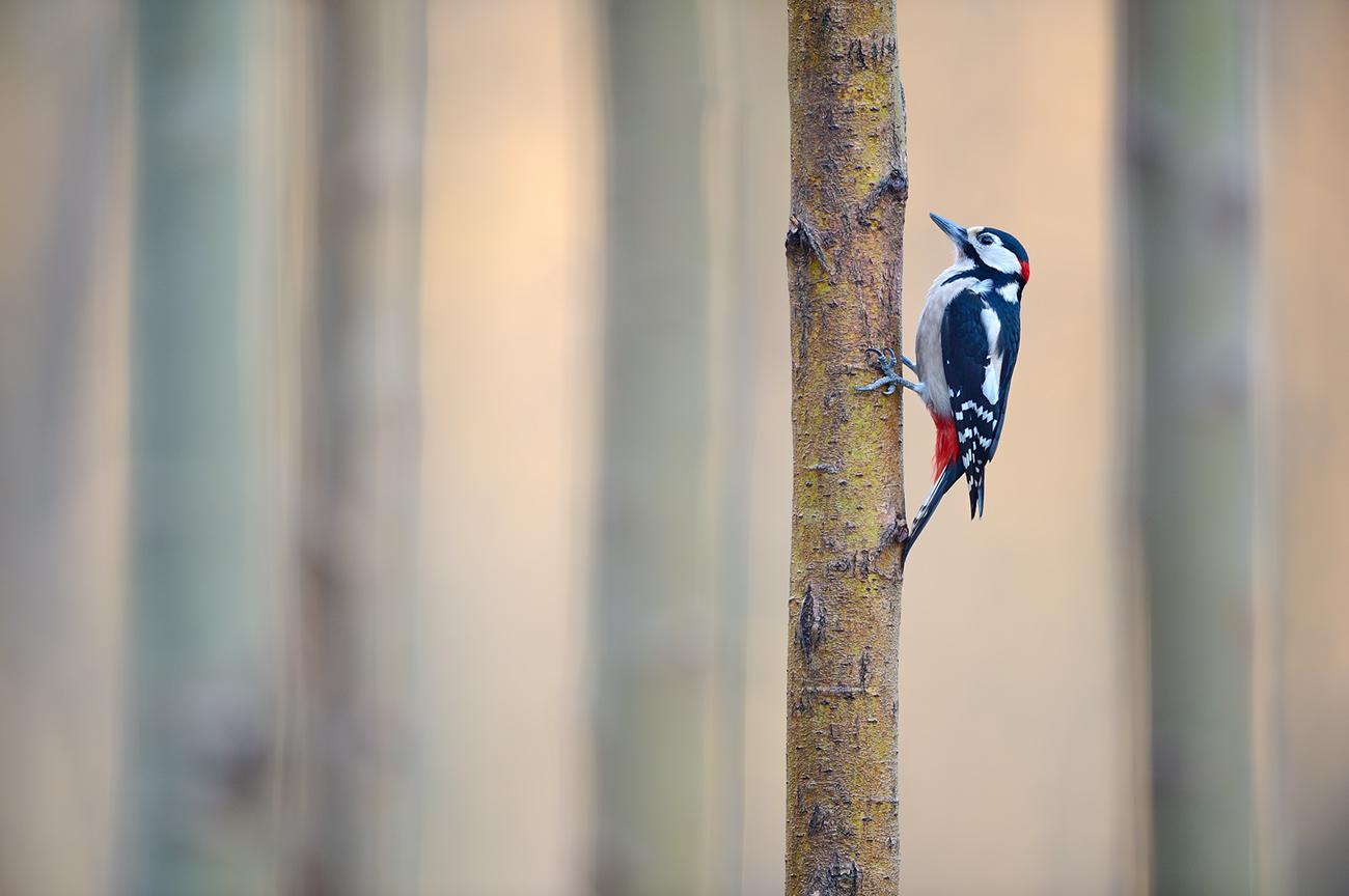 Woodland  - Birds & Habitats, Jose Manuel Grandío