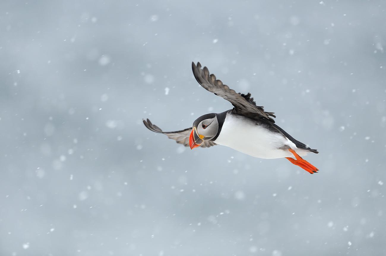 The return of Puffins - Birds & Habitats, Jose Manuel Grandío