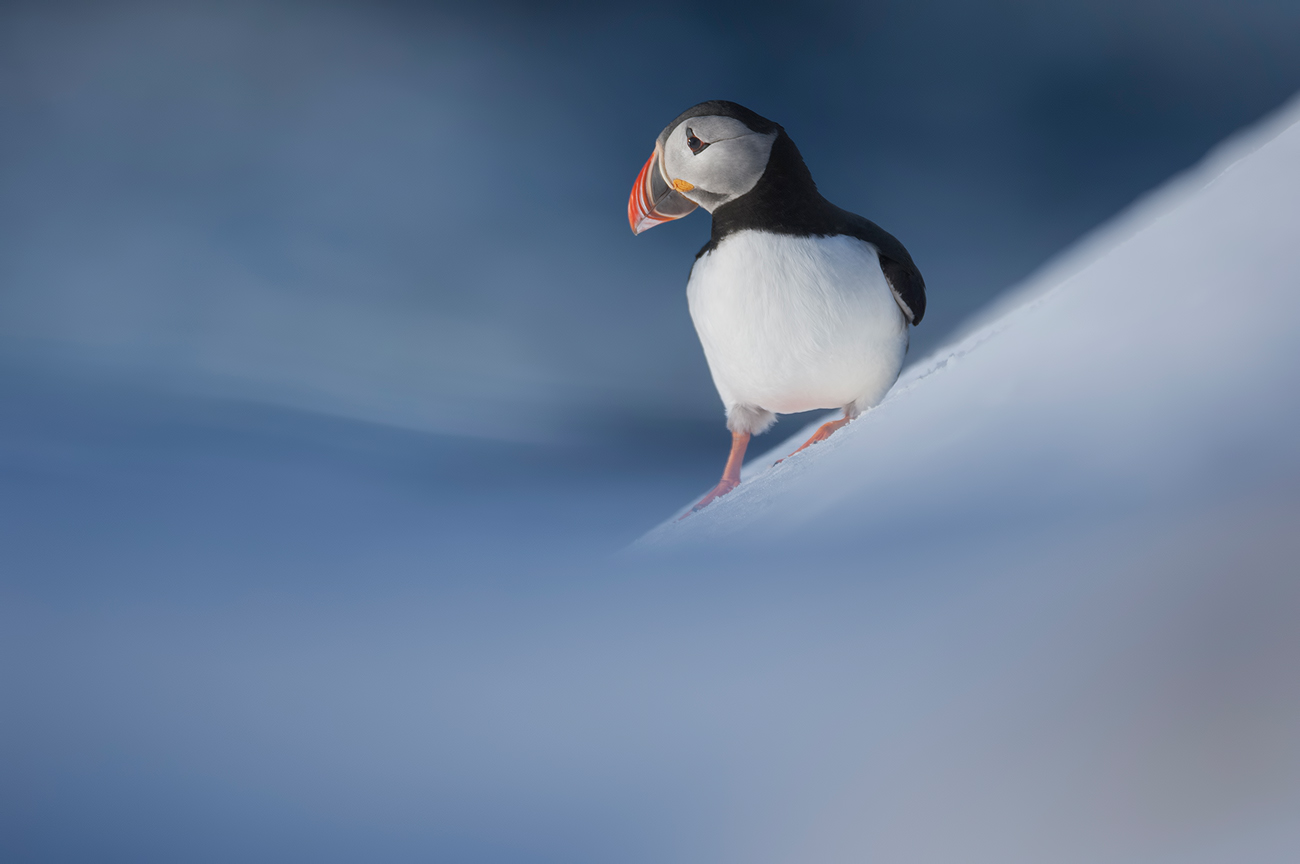 The return of Puffins - Birds & Habitats, Jose Manuel Grandío