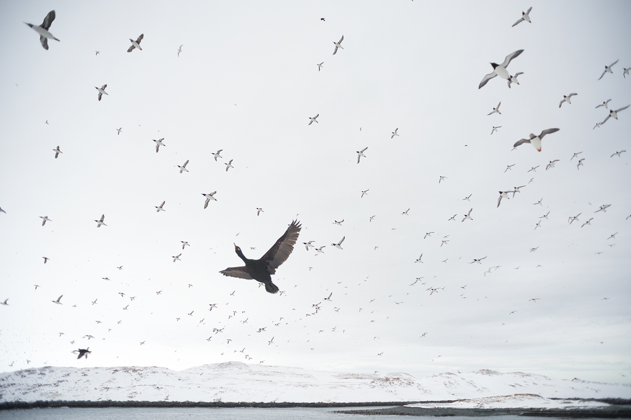 Seabirds and snow - Birds & Habitats, Jose Manuel Grandío