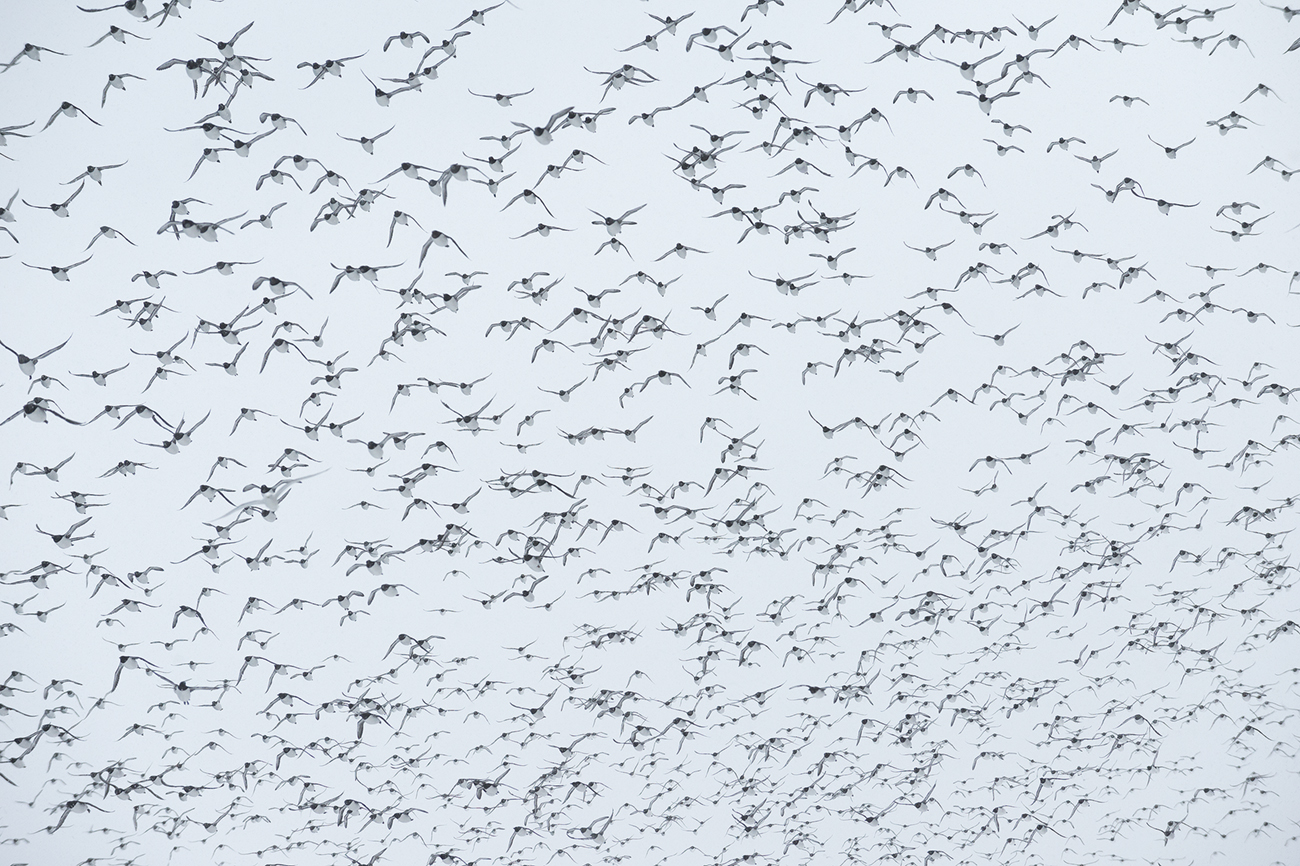 Bird Flocks - Birds & Habitats, Jose Manuel Grandío