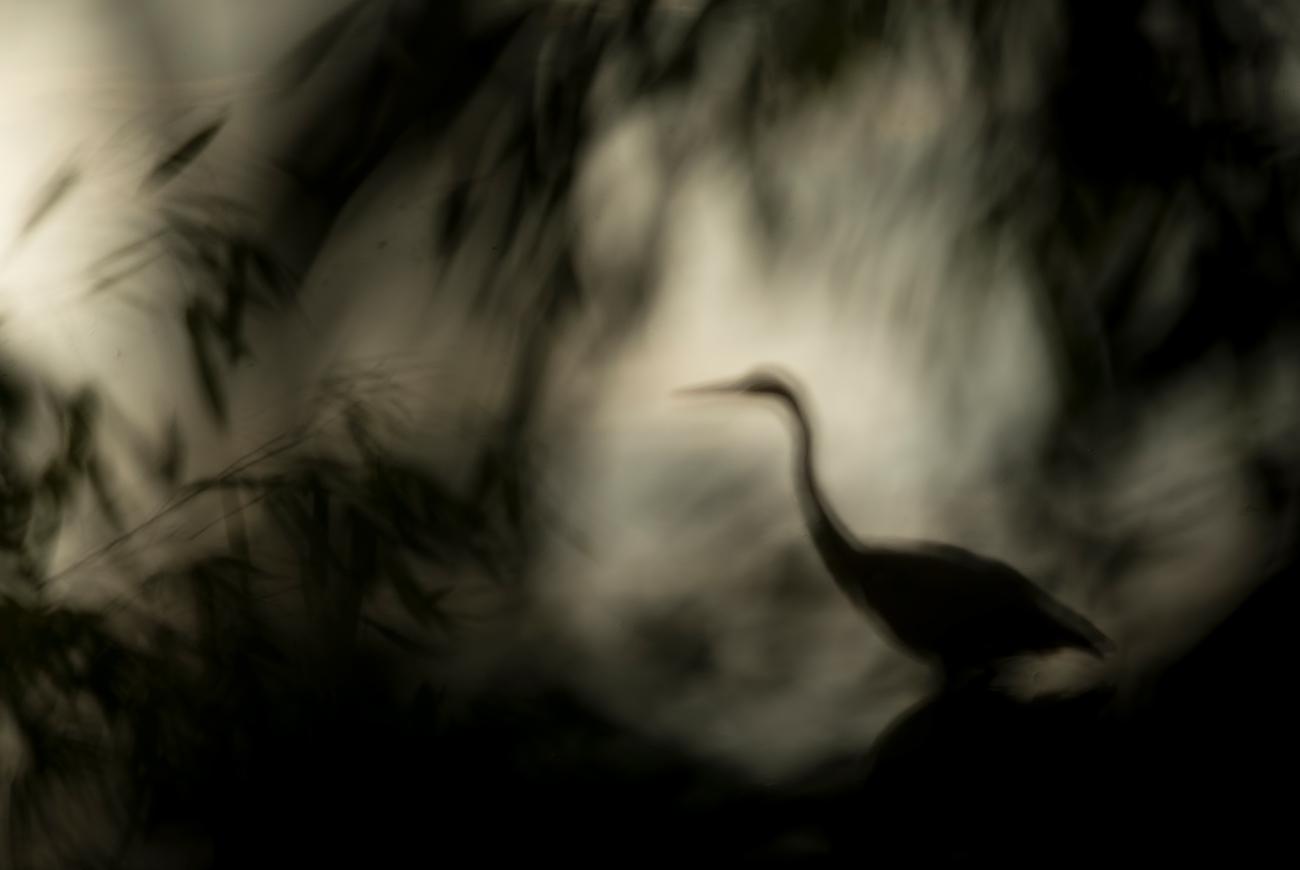 Grey heron silhouettes - Birds & Habitats, Jose Manuel Grandío