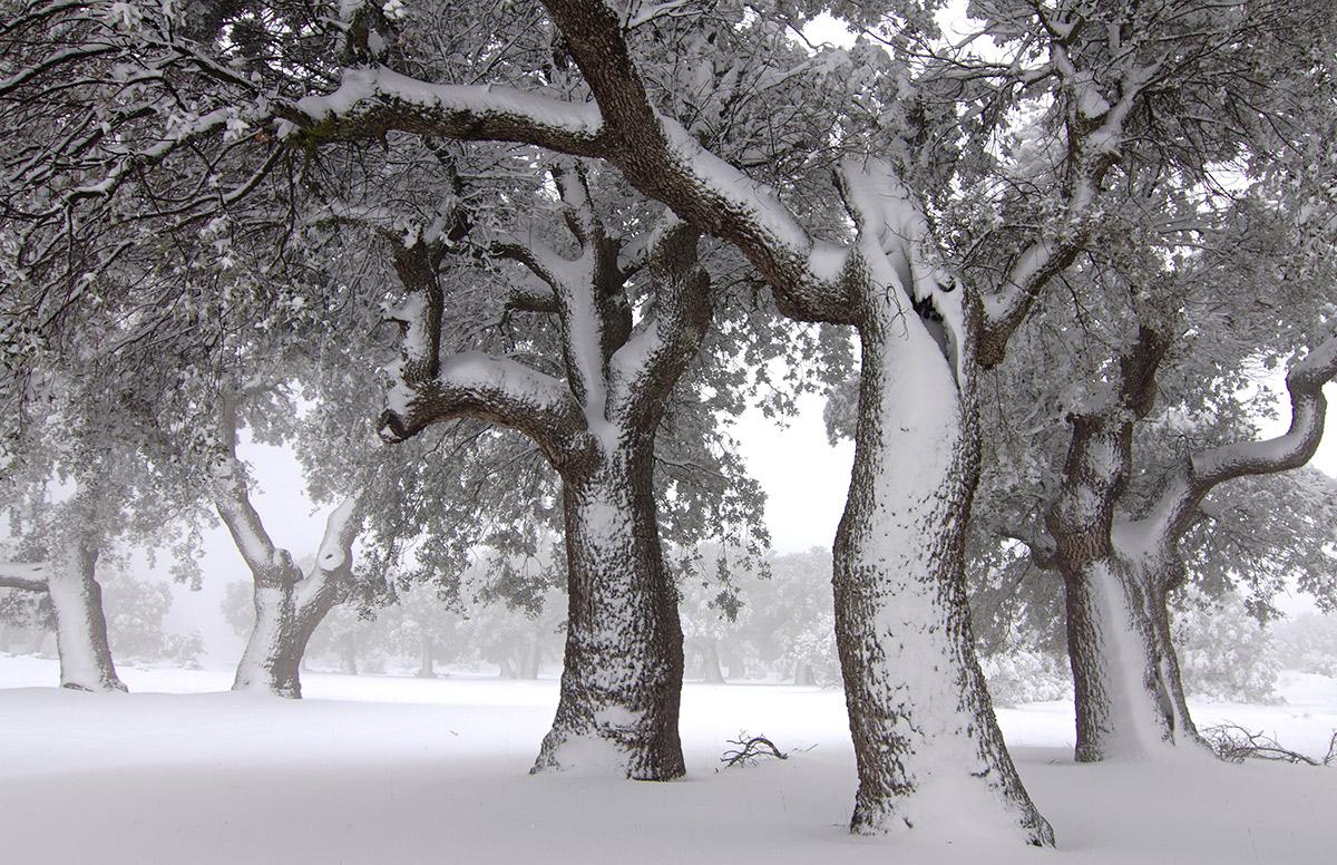 Bosque ancestral - Uge Fuertes Sanz, Fotografía de naturaleza desde el arte y creatividad. Encina. Quercus. Nieve.Imaginación en fotografía,  busqueda de elementos artísticos. Composición y efectos pictoricos
