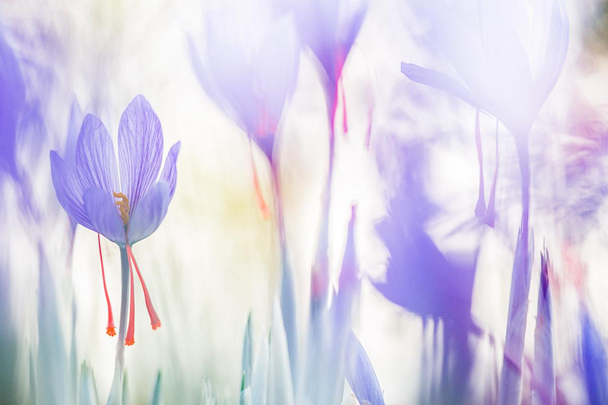 Olor a azafrán - Uge Fuertes Sanz, Fotografía de naturaleza desde el arte y creatividad. Imaginación en fotografía,  busqueda de elementos artísticos. Composición y efectos pictoricos