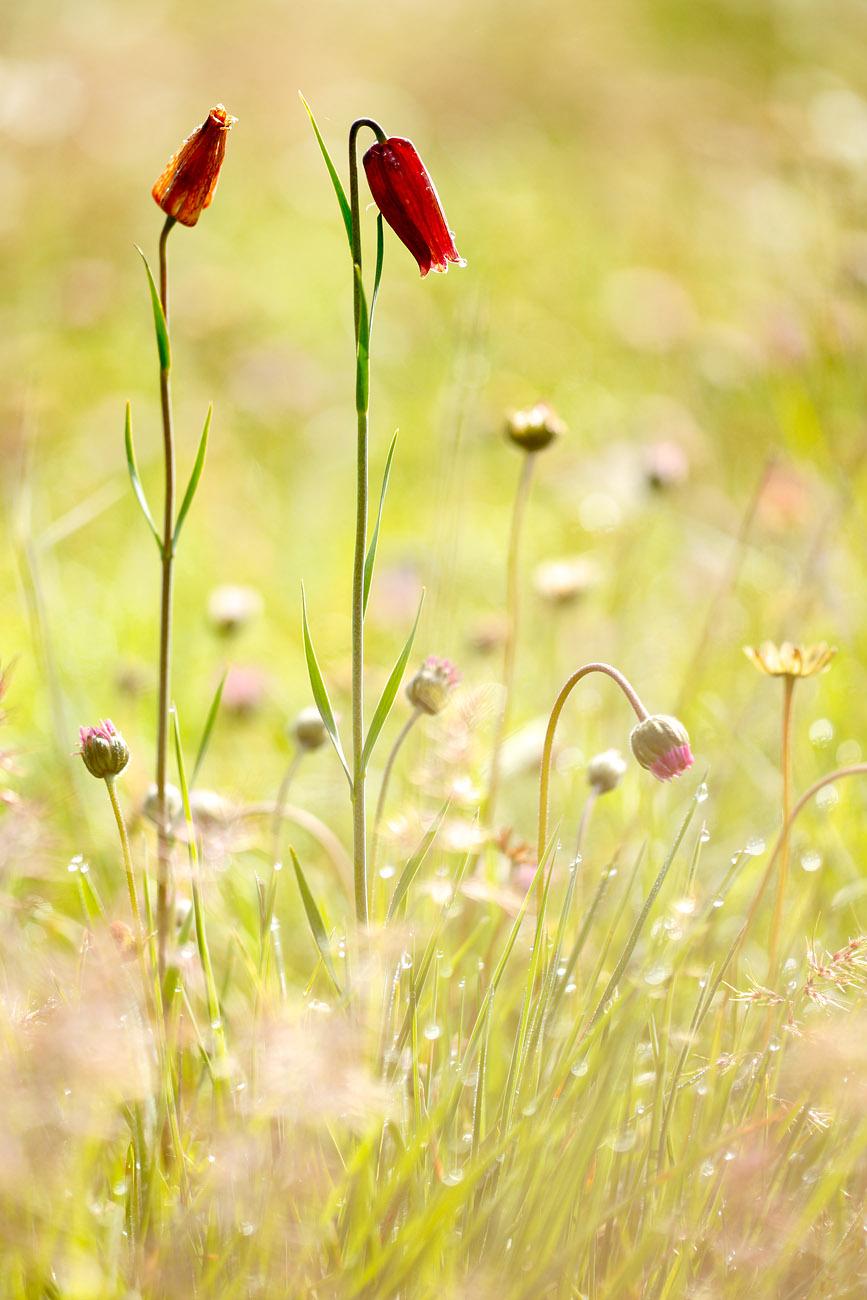 Fritillaria - Urtzi Vera, Arte y Naturaleza