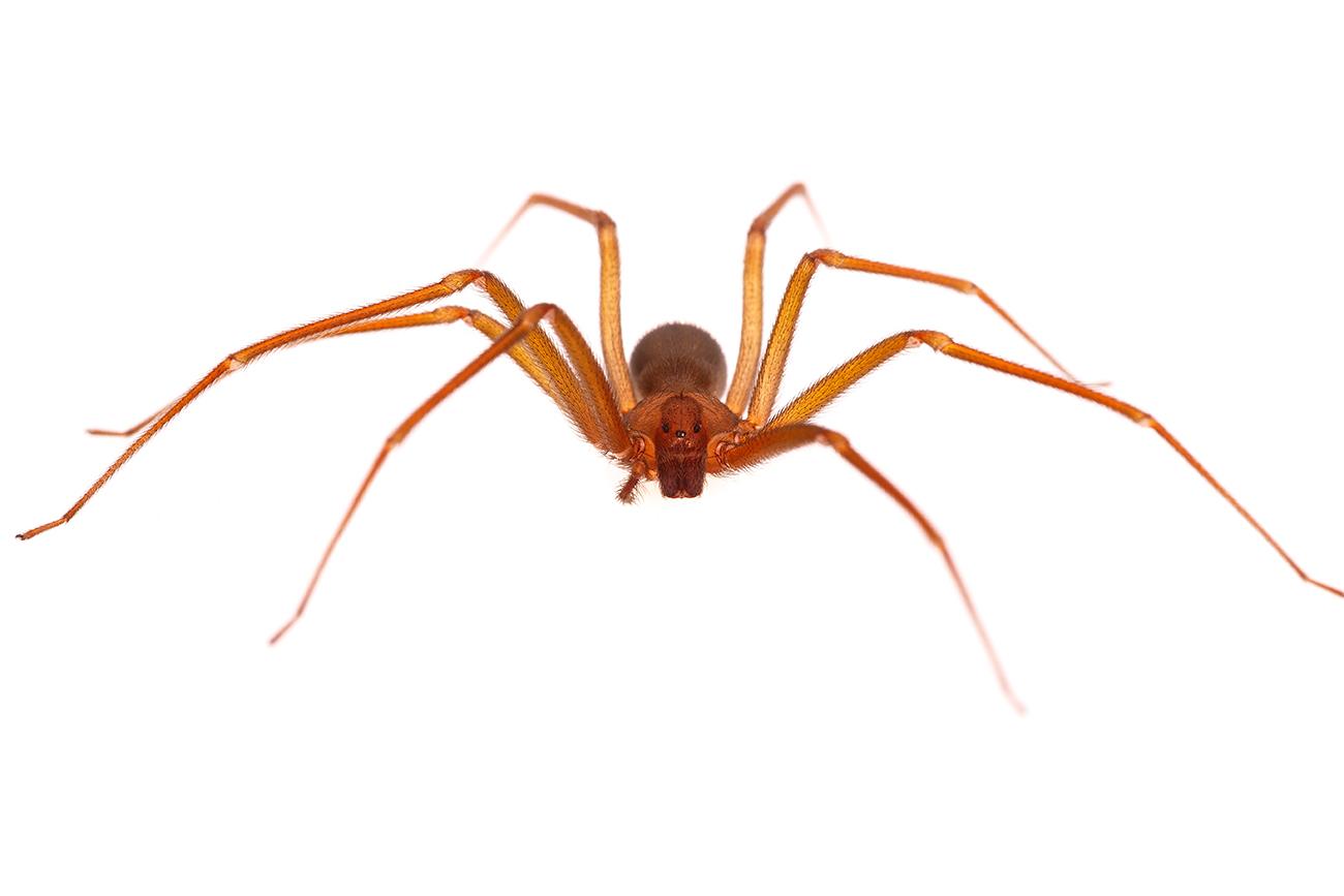 <i>Loxosceles rufescens. </i>Violinista. - Arañas, escorpiones... - Galería fotográfica