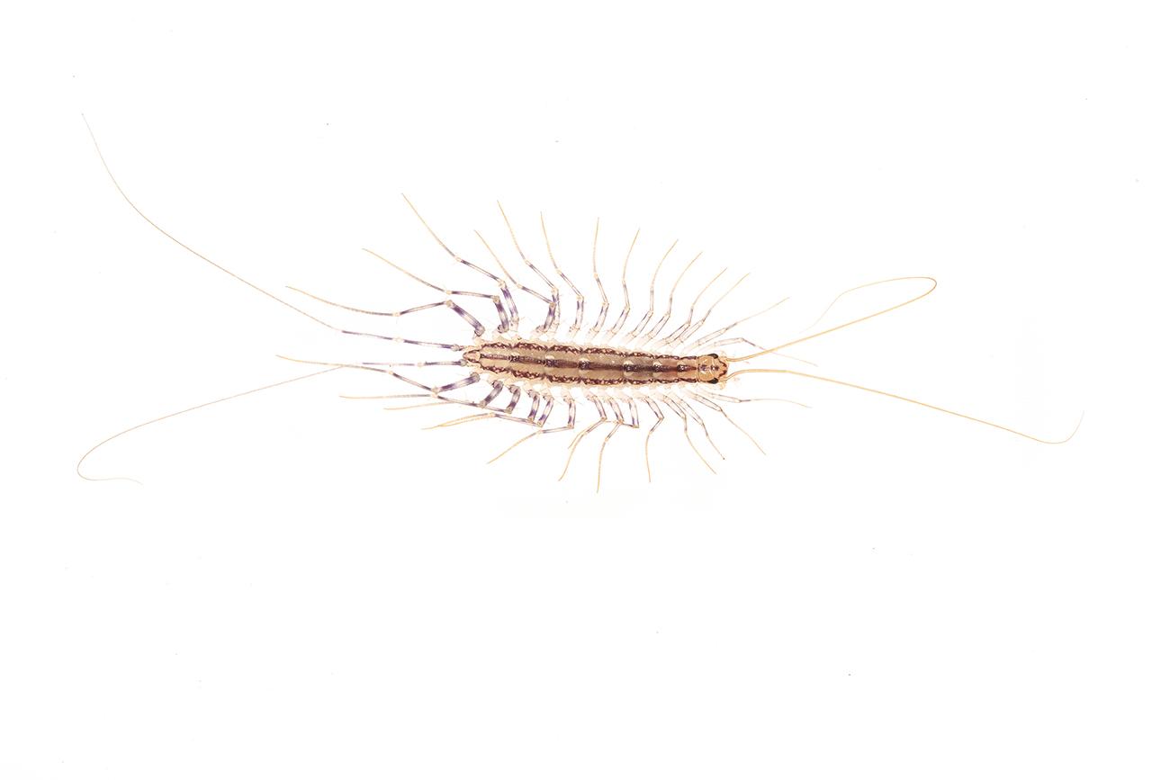 <i>Scutigera coleoptrata. </i>Cien pies. - Arañas, escorpiones... - Galería fotográfica