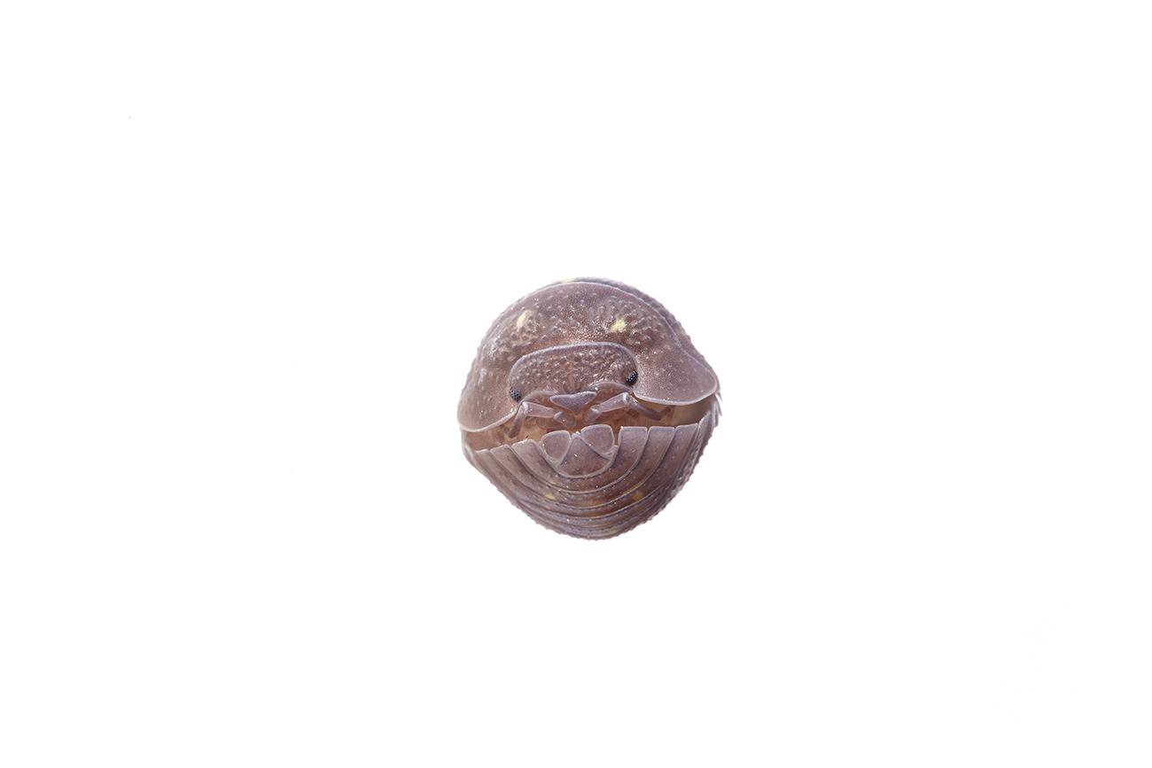 <i>Armadillum granulatum. </i>Bicho bola.  - <i>Armadillum granulatum.</i> - Others WhiteLife Photography gallery.