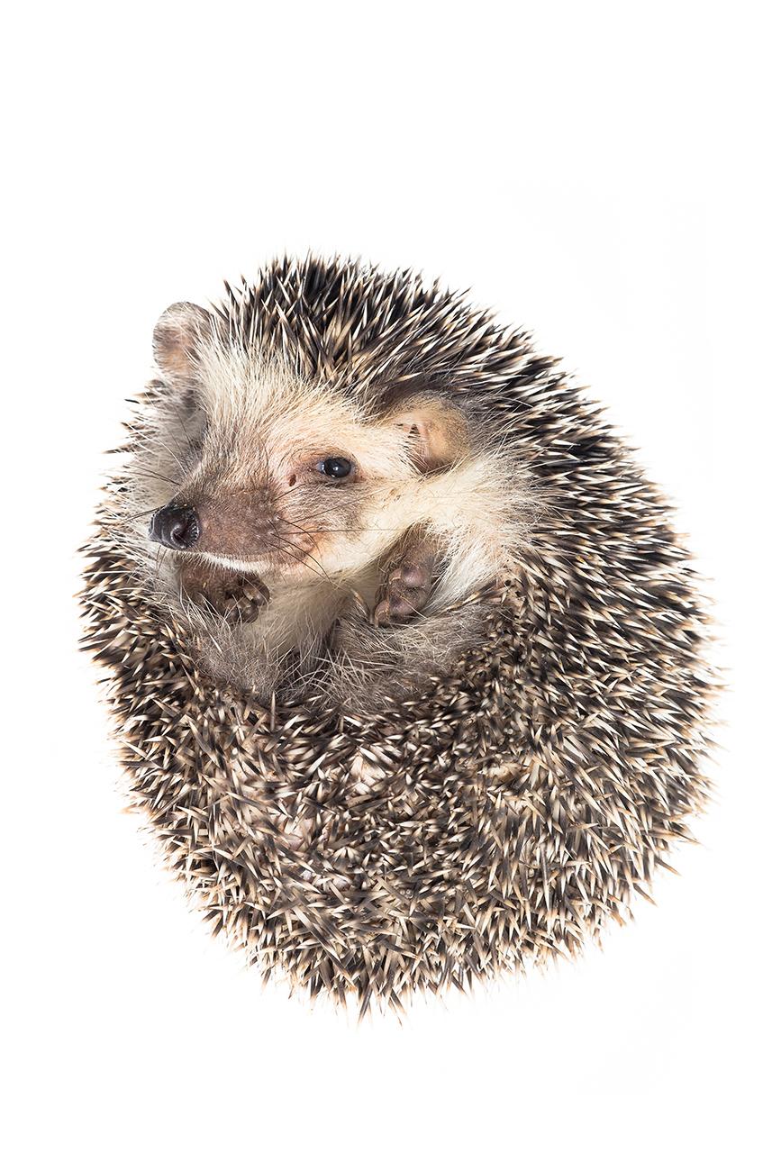 <i>Atelerix algirus. </i>Erizo. - <i>Atelerix algirus. </i>Algerian hedgehog - Others WhiteLife Photography gallery.