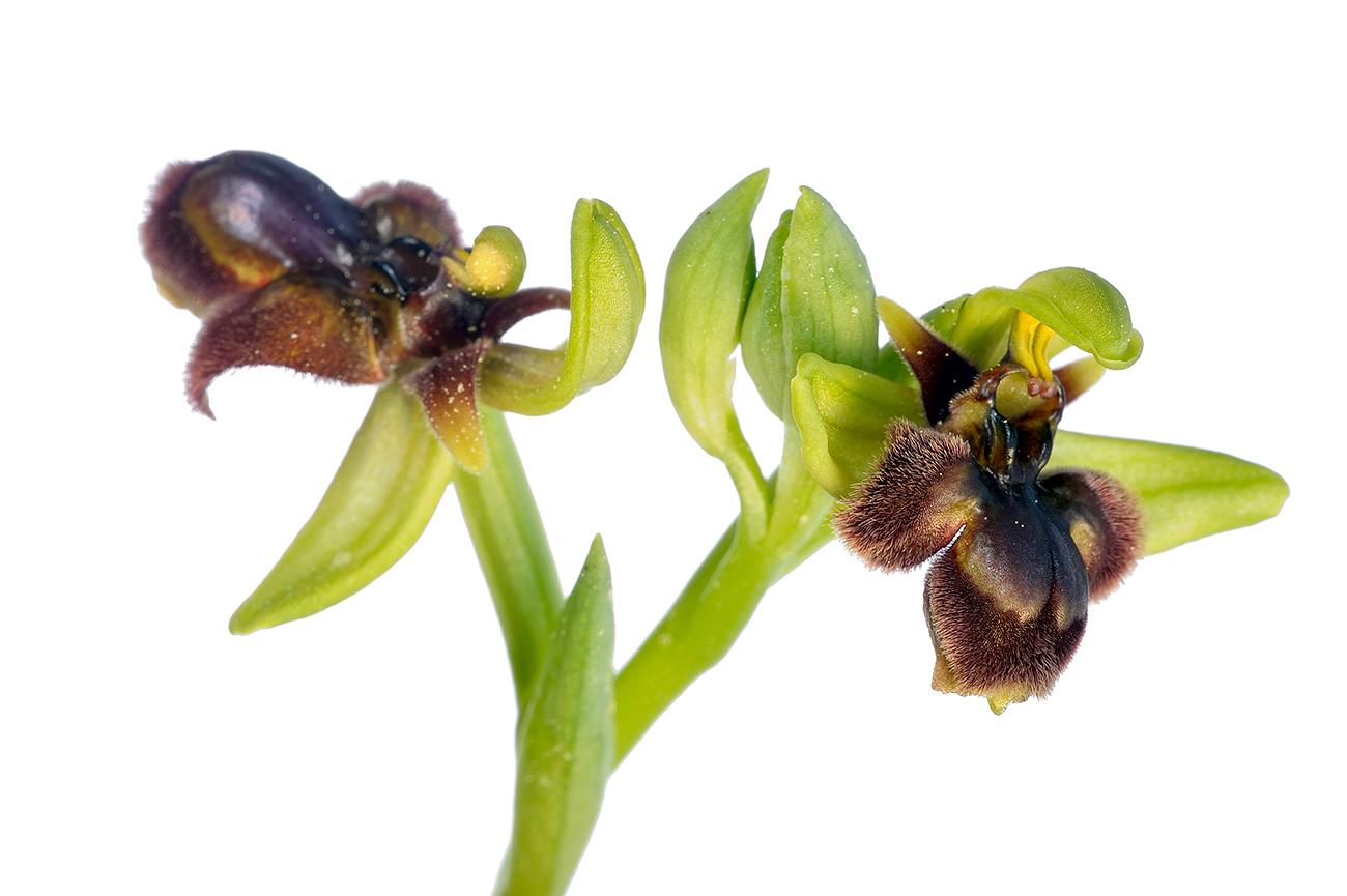 <i>Ophrys x fernandii</i> - Orquídeas - Galería fotográfica