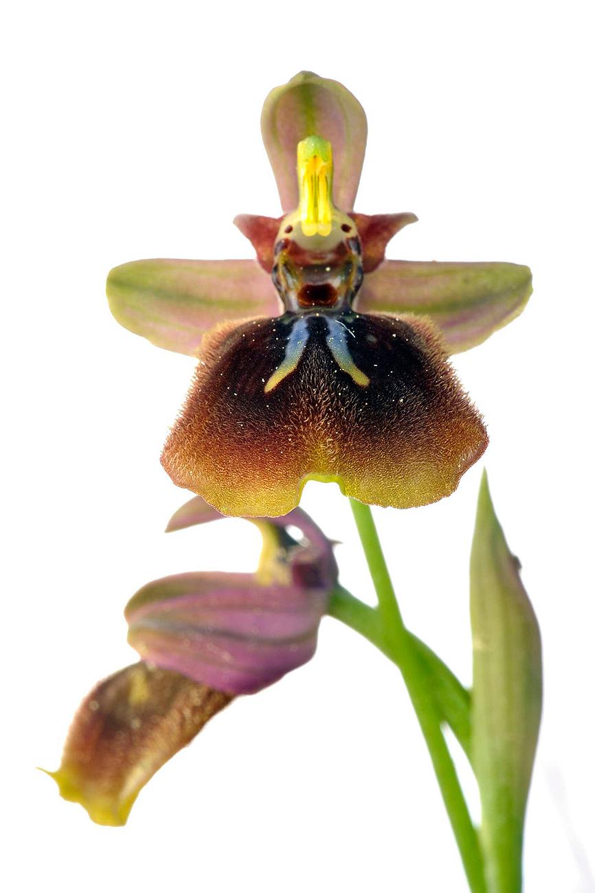 <i>Ophrys x heraultii</i> - <i>Ophrys x heraultii</i> - Galería fotogràfica
