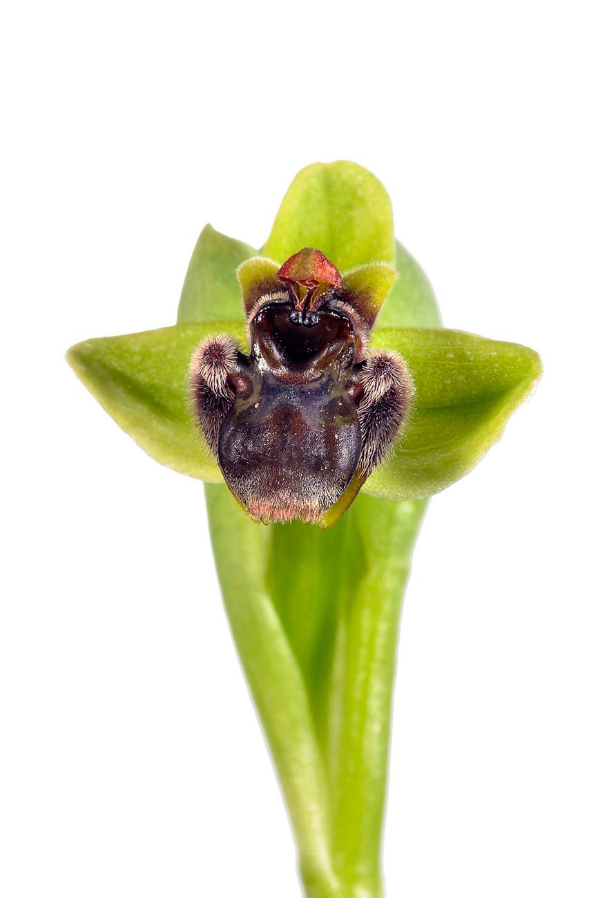 <i>Ophrys bombyliflora. </i> - <i>Ophrys bombyliflora. </i>Mosca petita.  - Galería fotogràfica