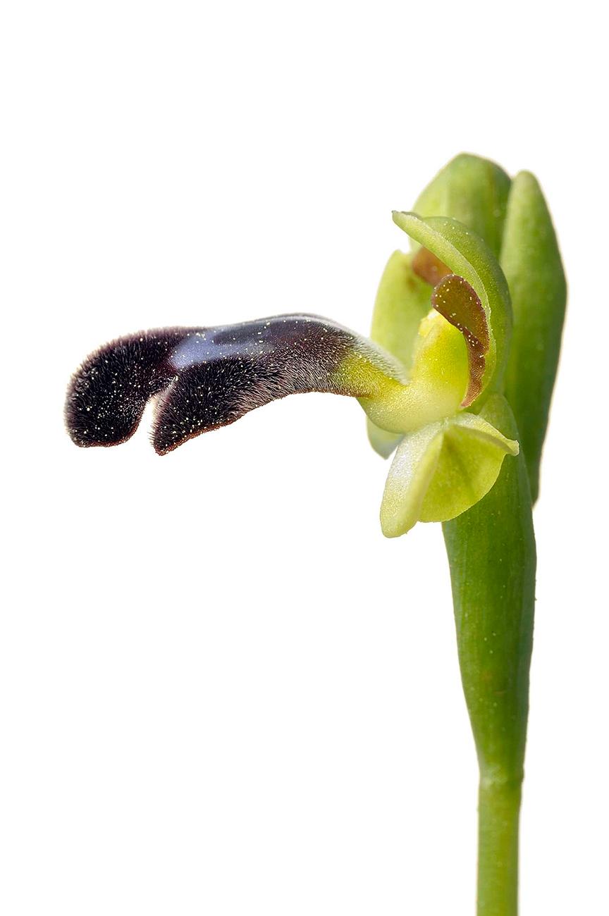 <i>Ophrys dyris. </i> - Orquídeas - Galería fotográfica