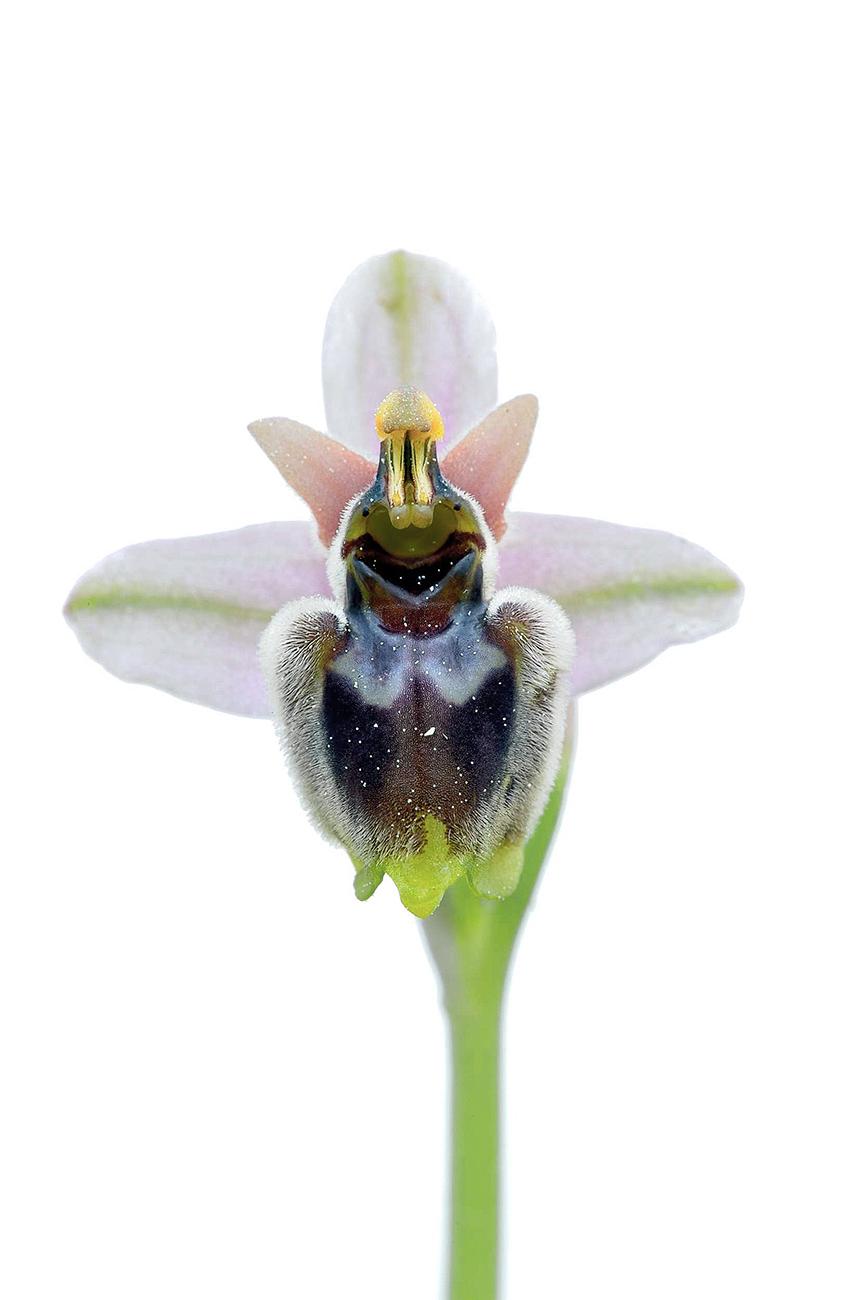 <i>Ophrys x sommieri</i> - Orquídeas - Galería fotográfica
