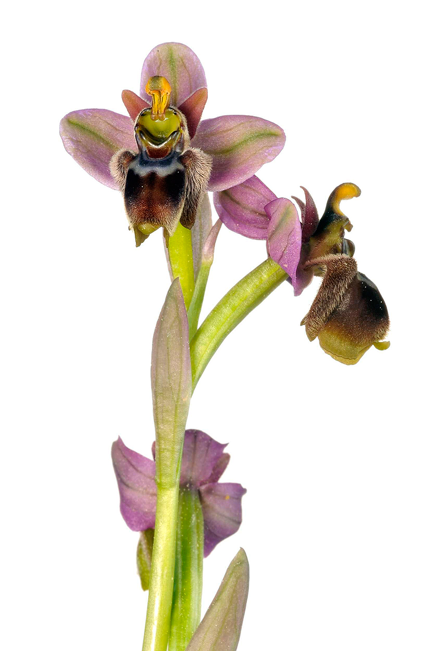 <i>Ophrys x sommieri</i> - <i>Ophrys x sommieri</i> - Galería fotogràfica