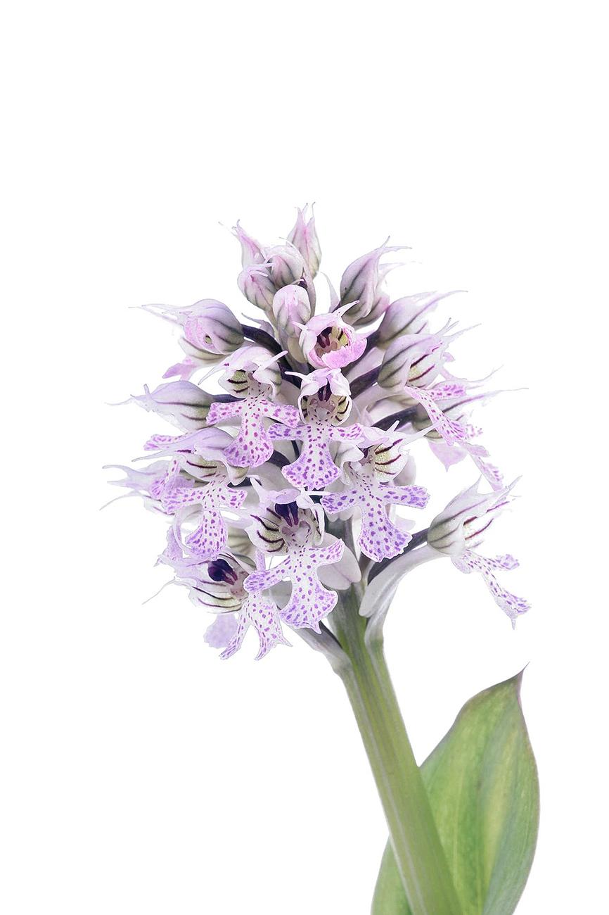 <i>Orchis conica. </i> - <i>Orchis conica. </i>Abelleta. - Galería fotogràfica