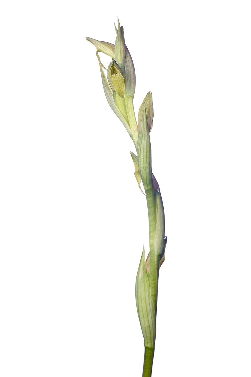 <i>Serapias parviflora. </i>(hipocromática) - Orquídeas - Galería fotográfica