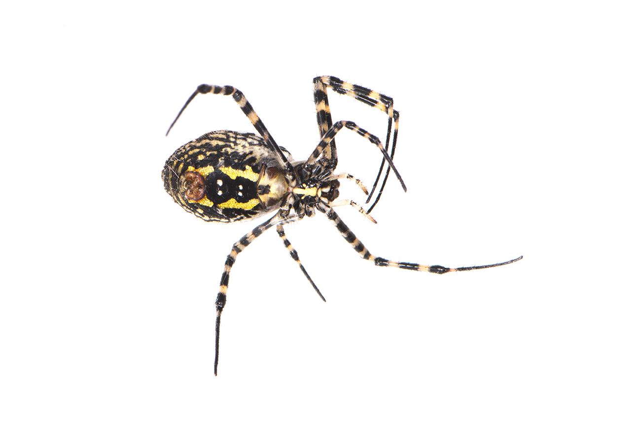 <i>Argiope trifasciata.</i> - Arañas, escorpiones... - Galería fotográfica