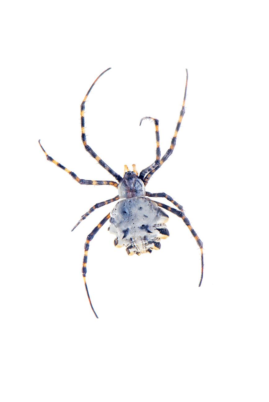 <i>Argiope lobata.</i> - Arañas, escorpiones... - Galería fotográfica