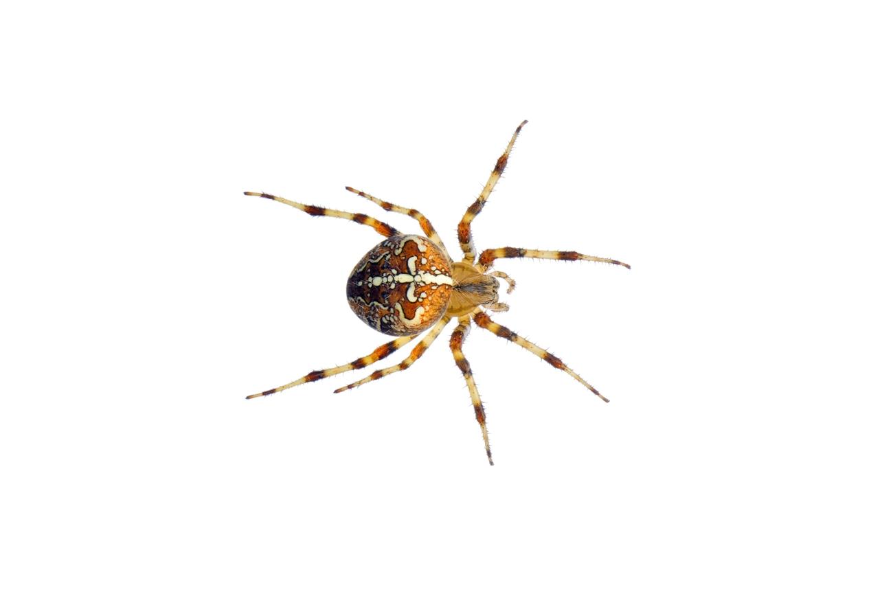 <i>Araneus diadematus.</i> - Arañas, escorpiones... - Galería fotográfica
