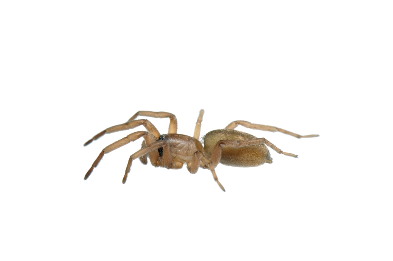 <i>Haplodrassus dalmatensis. </i> - Arañas, escorpiones... - Galería fotográfica