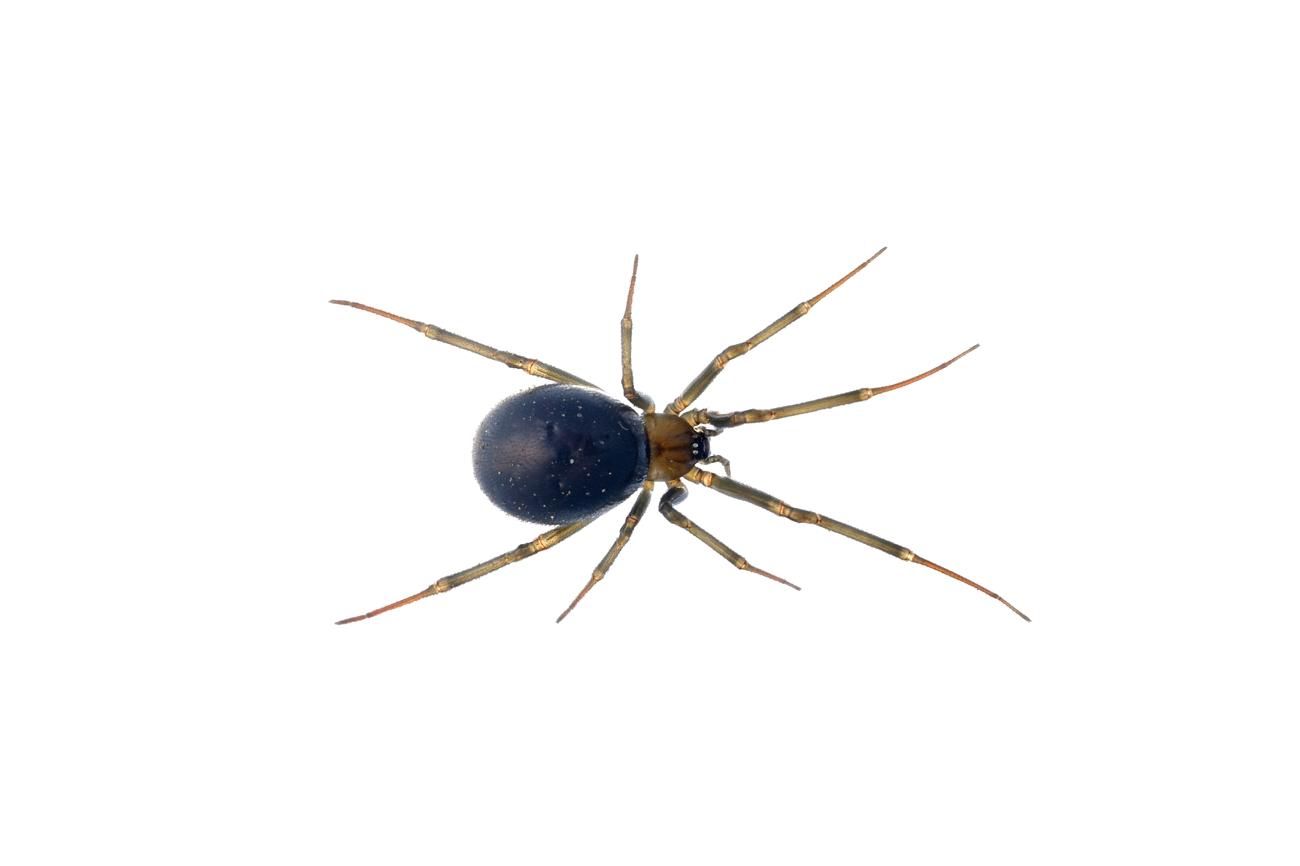 <i>Steatoda grossa. </i> - Arañas, escorpiones... - Galería fotográfica