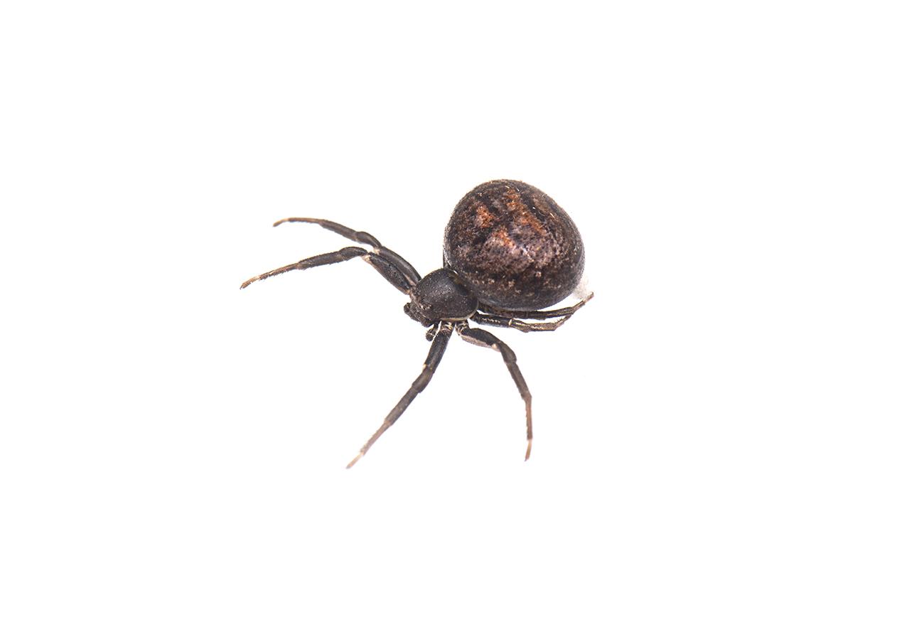 <i>Xysticus bufo. </i> - Arañas, escorpiones... - Galería fotográfica