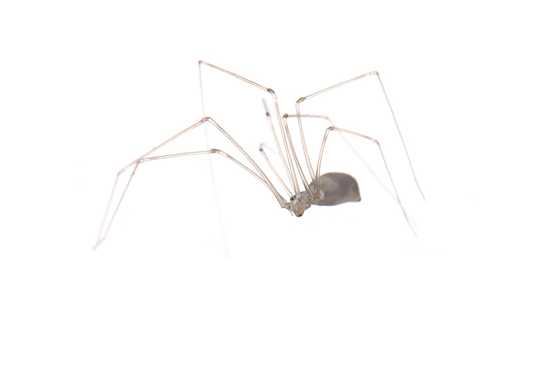 <i>Pholcus phalangioides</i> - Arañas, escorpiones... - Galería fotográfica