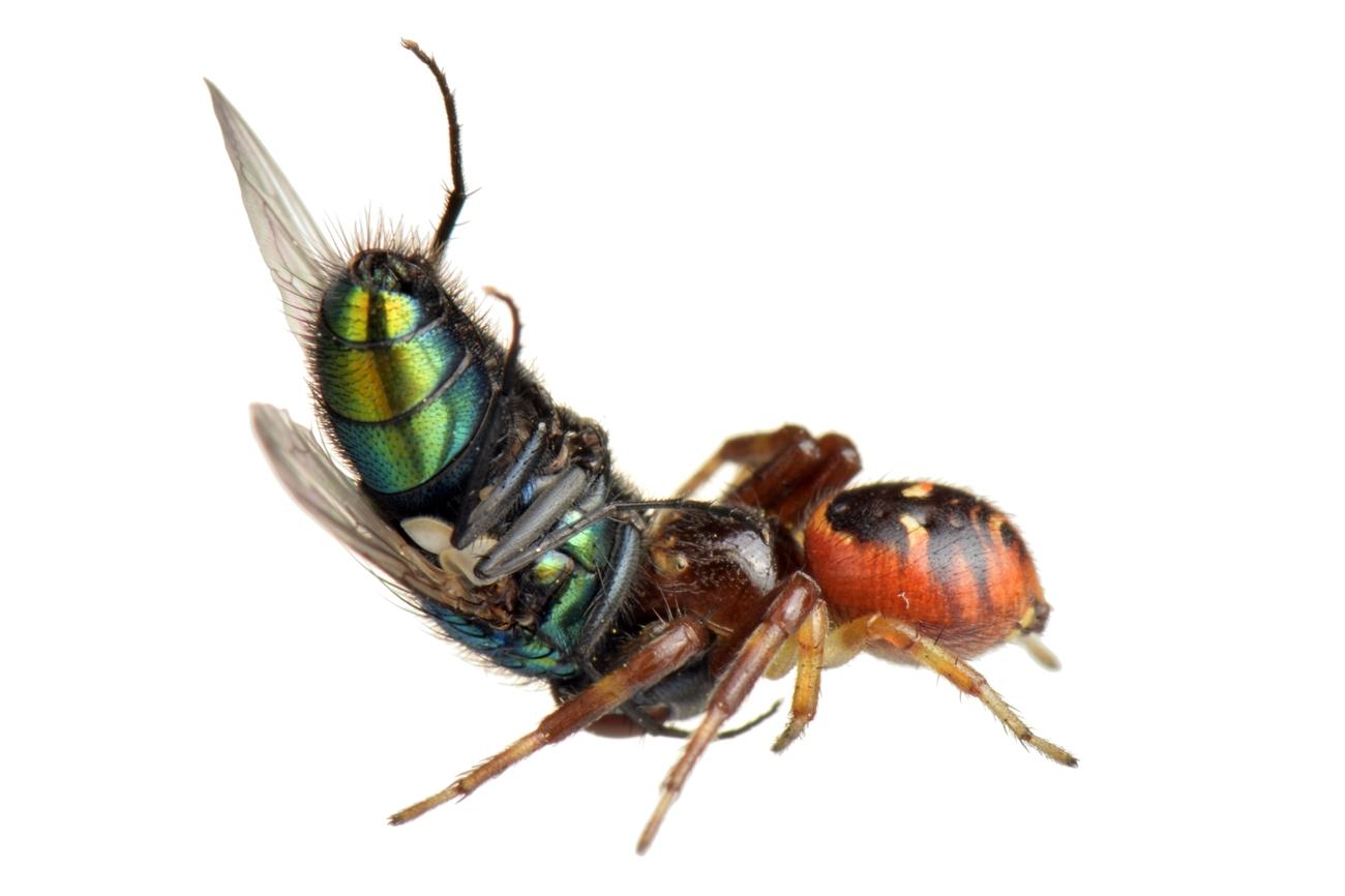 <i>Lucilia sericata + Synema globosum.</i> Mosca verde botella + Araña cangrejo. - Arañas, escorpiones... - Galería fotográfica