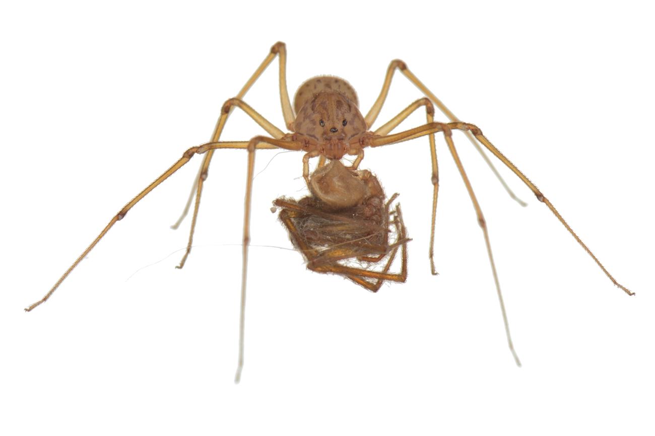 <i>Scytodes thoracica. </i> - Arañas, escorpiones... - Galería fotográfica