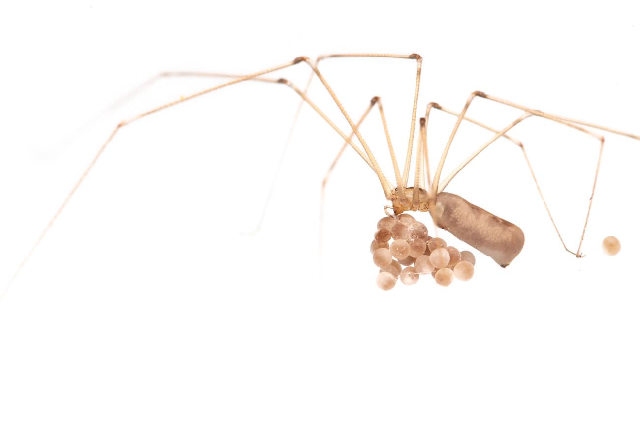 <i>Pholcus phalangioides.</i> Araña de patas largas.  - Arañas, escorpiones... - Galería fotográfica