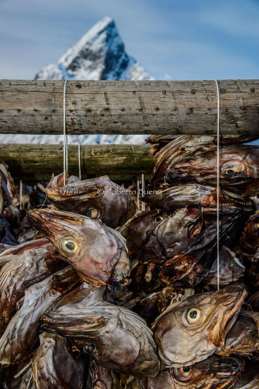 Skrei. El bacalao de invierno - Islas Lofoten - Islas Lofoten, Noruega. Roberto bueno. Paisajes de invierno