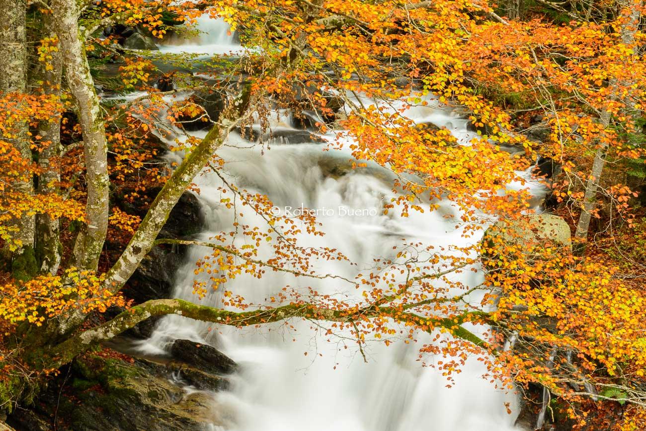 Hayas de otoño. Pirineo francés - Flora  - Flora - Roberto Bueno – Fotografía, Naturaleza, árboles, flores, hongos, líquenes